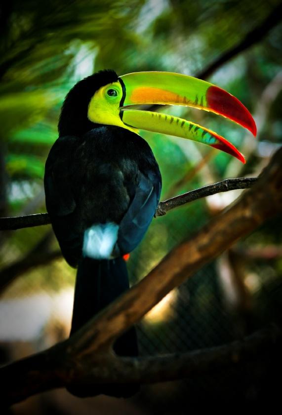Toucan bird in the jungles of Indio Maiz reserve Nicaragua