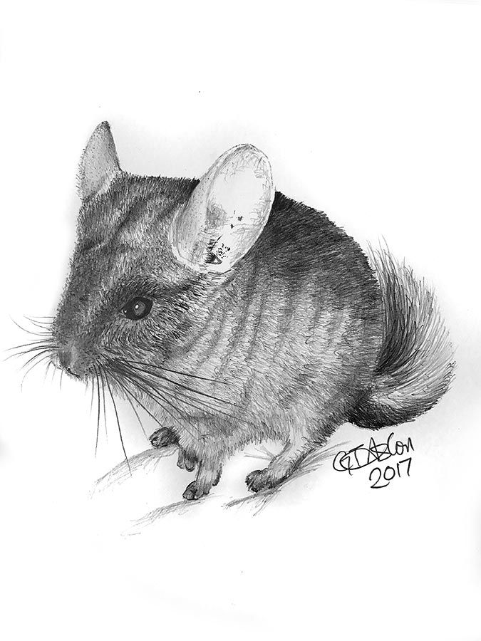 This drawing of a chinchilla called Tazis my first of a chinchilla and hopefully not my last, they're funny, furry little creatures. Taz is an especially cheeky chinchilla and this drawing is also a first smaller size, A4 to be exact.