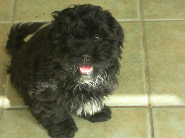 Toy Shih Tzu Poodle Mix | Shih Tzu Poodle Puppies