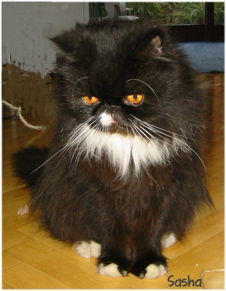 Sasha era un gato persa hermoso, adorable, con su media nariz blanca y sus calcetines.