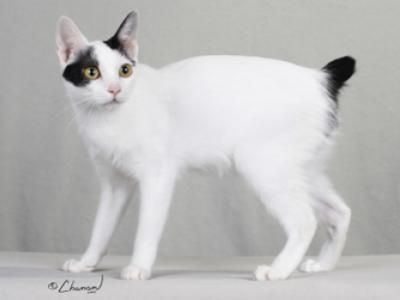 Japanese Bobtail.  More likely to display heterochromia (Different color iris, one yellow, one blue eye) than other breeds.Animal Planets, Japanese Bobtail, Amazing Food, Bobtail Pets, Blue Eyes, Awesome Pin, Cat Breeds, Bobtail Animal, Animal Cat