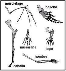 Resultado de imagen de diagrama sobre la evolución mamíferos