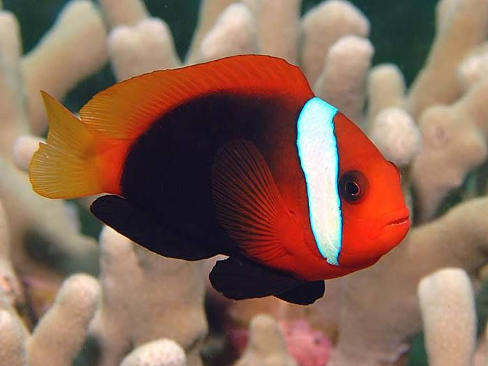 red and black clownfish | Under The Sea | Pinterest | Fish ...