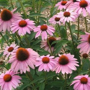 Echinacea purpurea, Prairie Splendor, Perennial. I'd like to put some of these by the dry river bed.Purple Coneflower, Echinacea Seeds, Splendor Coneflower, Dry Rivers, Bloom, Huge Flower, Flower Purple, Flower Seeds, Echinacea Purpurea