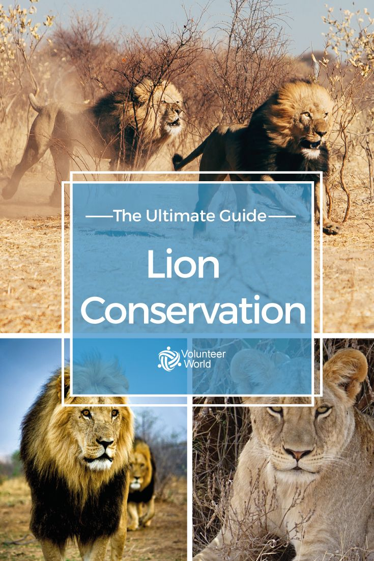 Lions are in danger of becoming extinct! Help as a volunteer in Lion Conservation!