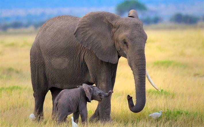 Scarica sfondi cucciolo di elefante, elefanti, Africa, wildlife, campo
