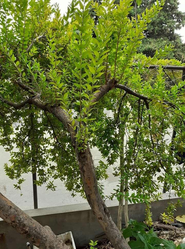 شجرة حمبلاس من صدف البحر Pflanzen Baum Blumen