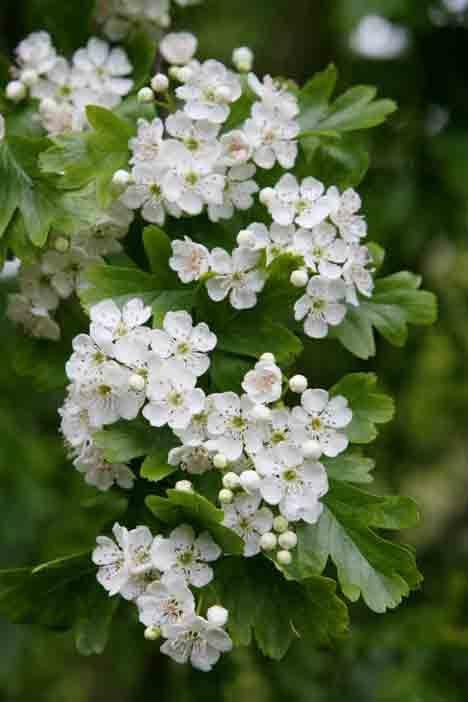 Massachusetts State Flower, Mayflower | Flower ...