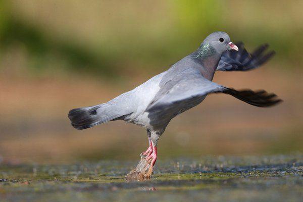 """Stock Dove """"Columba-oenas"""""""