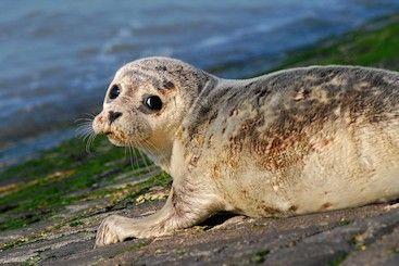 gewone zeehonden hebben een kleineren kop dan de grijze zeehonden en de gewone zeehond heeft een neus in de vorm van een v en gewone zeehonden hebben vaak bruine vlekken.