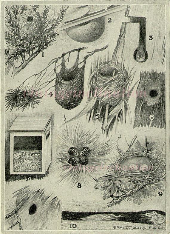 Bird Nest Antique Art Print