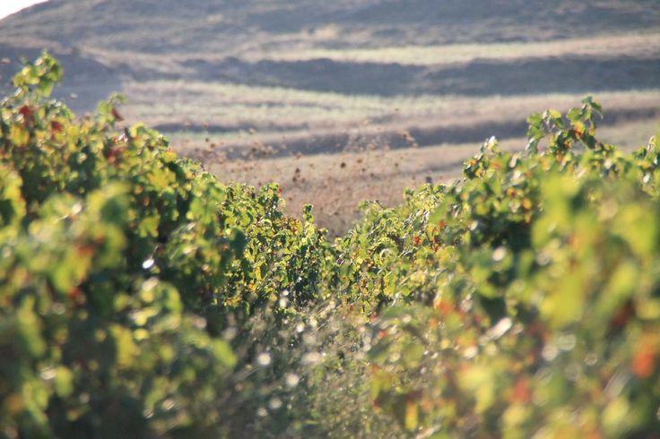 Vineyard, Limnos, Greece