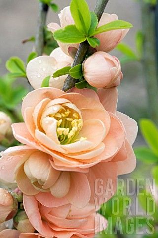 "These might be my new fav! Chaenomeles Japonica 'Cameo"" © Gilles Delacroix"