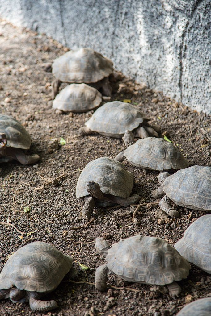 Baby tortoises at the tortoise breeding centre on Isabela Island, Galapagos. Click to find out more about the wildlife in this unique archipelago.
