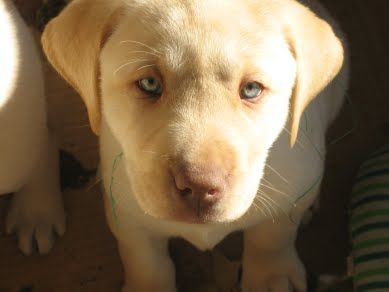 1000+ images about Cody and other Dudley Labs on Pinterest ...