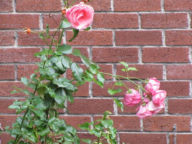 Irish Rose.  Roadside near Burlington Hotel, Dublin.  Pink Pillars Vision: Travels