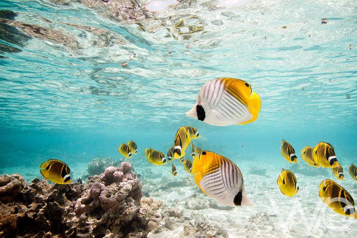 Threadfin butterflyfish- Rarotonga
