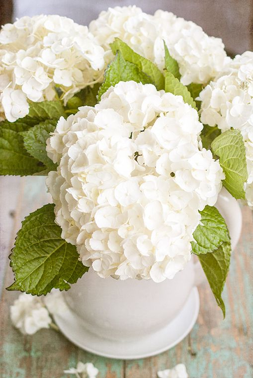 How to care for freshly cut hydrangeas...