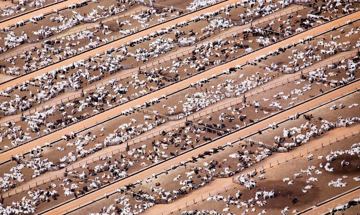 Feedlot Industrial livestock production in Brazil Photograph: Peter Beltra