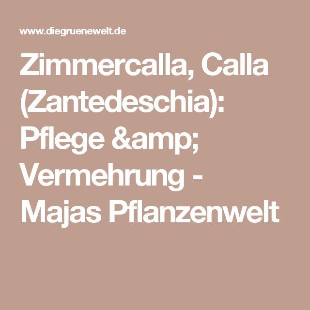 Zimmercalla, Calla (Zantedeschia): Pflege & Vermehrung - Majas Pflanzenwelt