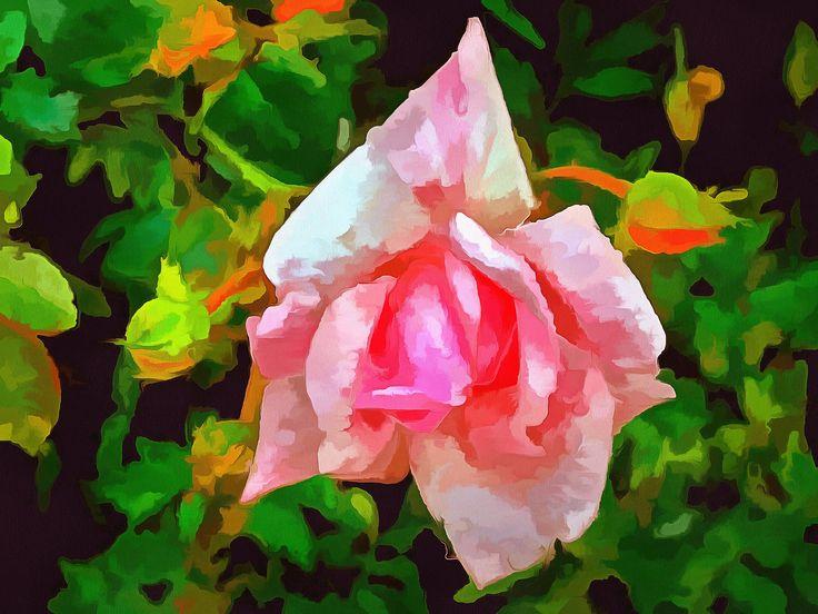 https://flic.kr/p/J2UgET | Bewerking roos in de tuin 14 juni 2016 Renne Rus ®