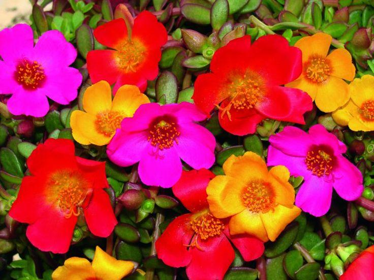 plante plein soleil à corolles colorées- le pourpier à grandes fleurs Portulaca grandiflora