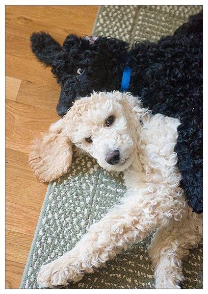 3-month old Standard Puppies Poodles are lovable in any size dont you agree???