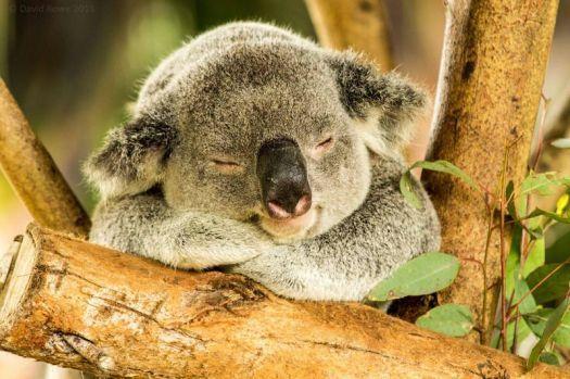 Koala Having A Nap (54 pieces)