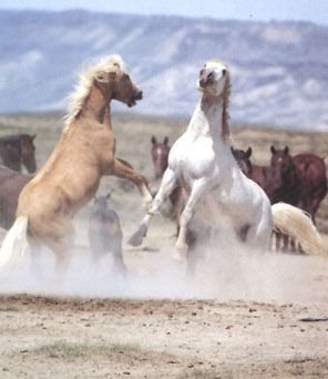 Brumby stallions go at it Brumbies are the Australian mustang equivalent