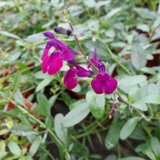 Salvia jamensis Violette de Loire® - Sauge arbustive violette