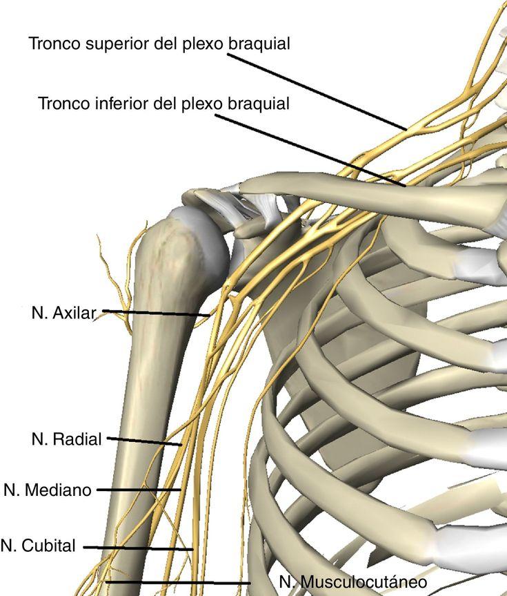 120 best Anatomía miembro superior images on Pinterest