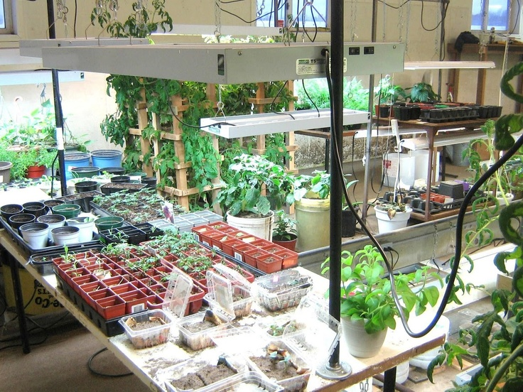 Basement gardening green houses pinterest photos album and basements - Growing vegetables indoors practical tips ...