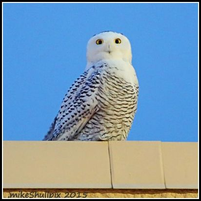 Best Eagles And Owls Images On Pinterest Eagles Beautiful - Meet the cuddly owl who loves landing on people