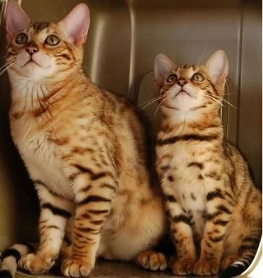 bengal kittens for sale florida