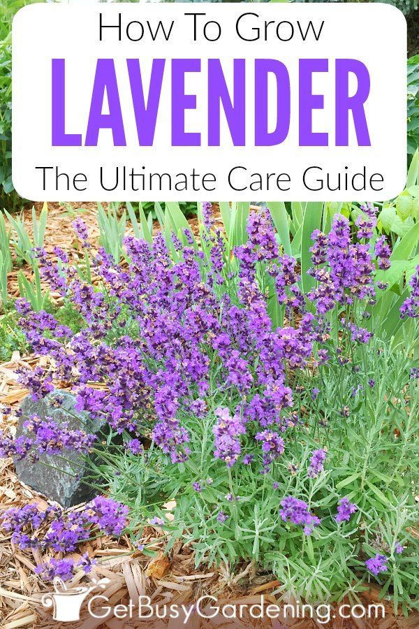 How To Care For Lavender Plants Lavender Plant Care Growing