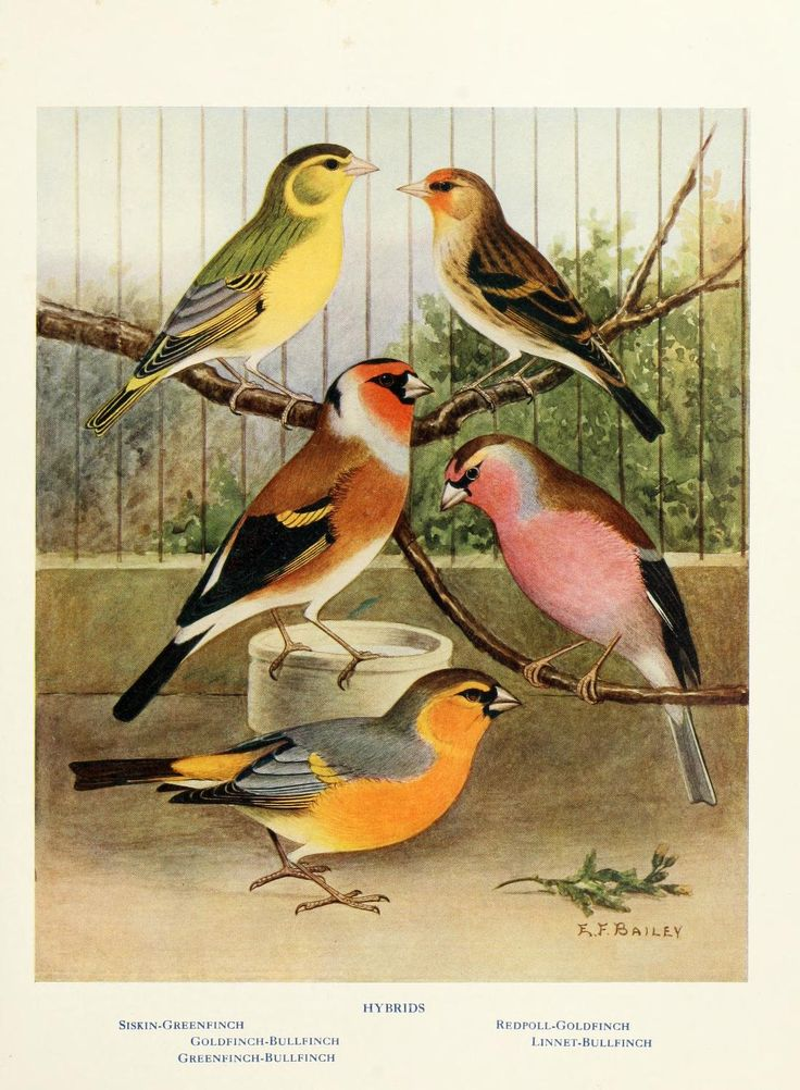 Canaries, hybrids, and British birds in cage and aviary