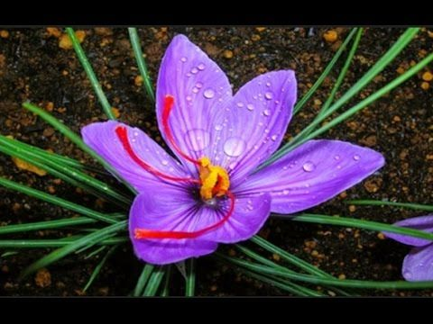 how to grow saffron plant at home urduhindi