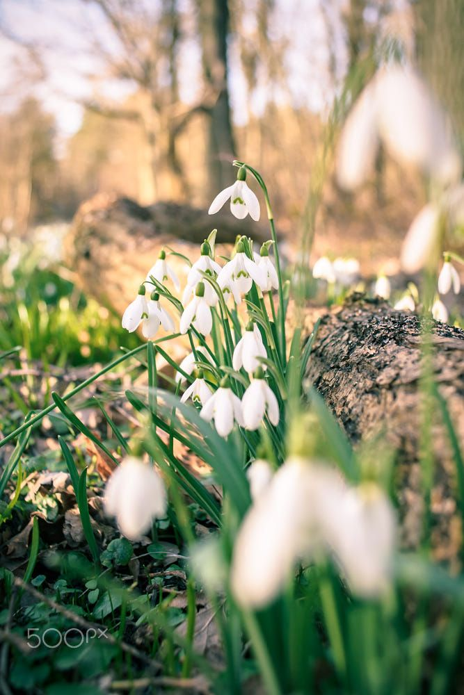 Bunch Of Snowflake Or Snowdrop Flower In Bloom Flowers Birth Month Flowers Magical Garden