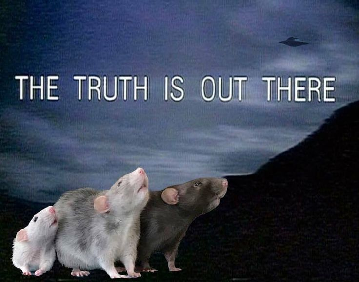 I want to believe... aww cute rat cuterats