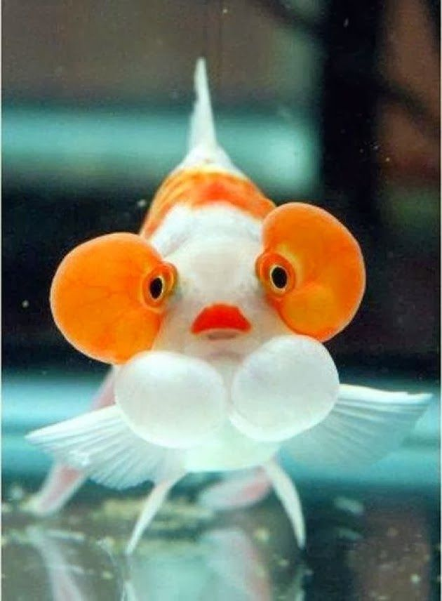 Bubble Eye Fish ~?? Pets Palace ??~ Pinterest