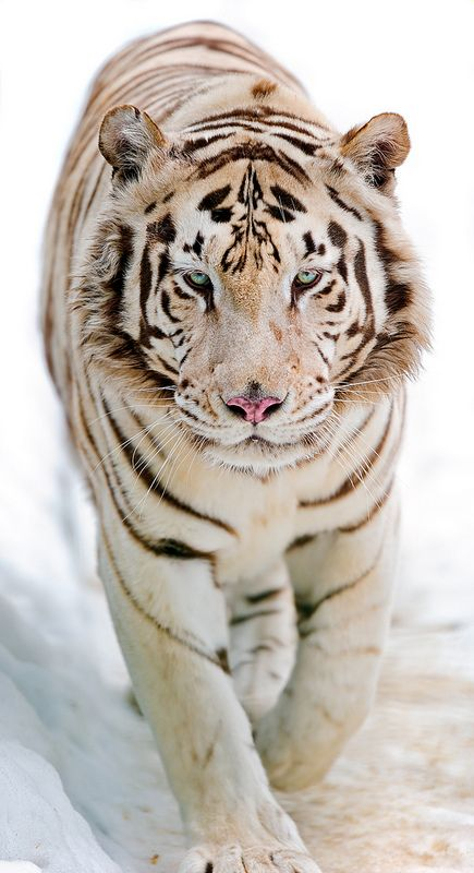 White tiger walking in the snow II | Flickr - Photo Sharing!