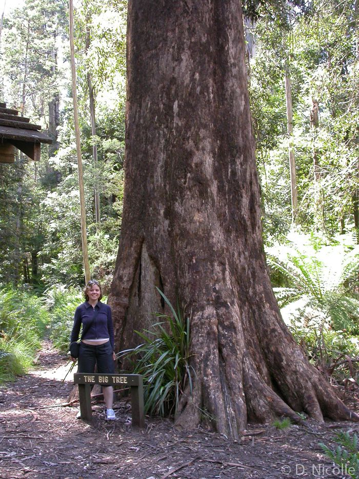 """Big Tree"" (Eucalyptus regnans) in Cumberland Scenic Reserve, near Marysville, Victoria, Australia.  It is 265 feet tall."
