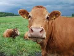 kontes hewan ternak dan festival hewan ternak korban sapi dan kambing yang di selenggarakan oleh pihak Dinas pertanian, perkebunan dan..