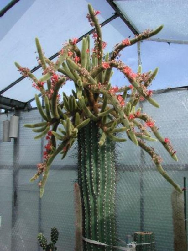Hildewintera aureispina - Golden Rat Tailed Cactus