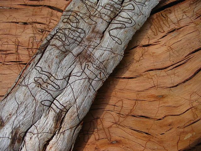 scribbly gum bark by *omnia*, via Flickr