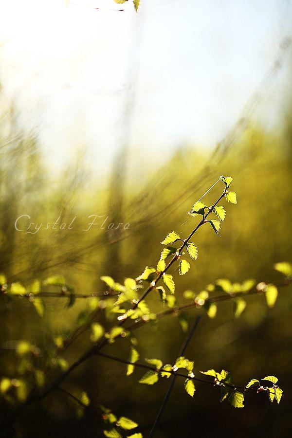 Березка, молодые листочки / Birch, young leaves