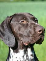 German Shorthaired Pointer Breeders - Champdogs ®