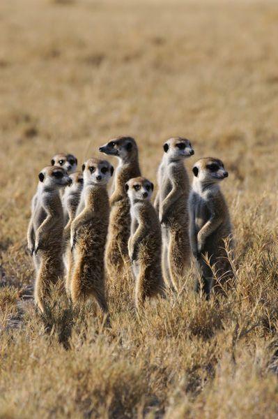 Africa | Group of Meerkat Warming Up In Morning Sunshine. Kalahari Desert, Botswana | © Wolfgang Kaehler