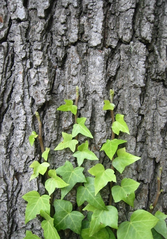 Is this ivy malicious? Is the tree afraid?