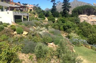 One of our indigenous gardens on the slopes above Hout Bay | Red Daffodil